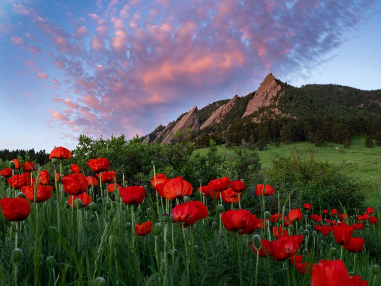 Poppies at Chautauqua park in Boulder, CO